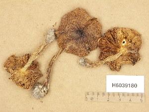(Tricholoma trondosae - H6039180)  @11 [ ] Copyright (2013) Diana Weckman Botanical Museum, Finnish Museum of Natural History, University of Helsinki