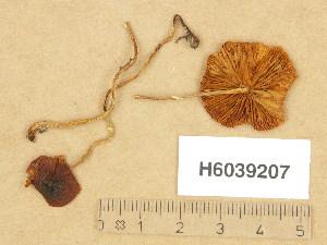 (Bolbitiaceae - H6039207)  @11 [ ] Copyright (2013) Diana Weckman Botanical Museum, Finnish Museum of Natural History, University of Helsinki