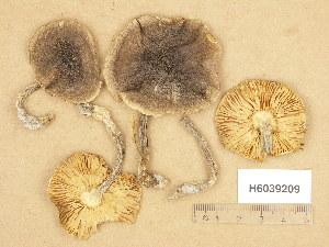 (Tricholoma saponaceum var. ardosiacum - H6039209)  @11 [ ] Copyright (2013) Diana Weckman Botanical Museum, Finnish Museum of Natural History, University of Helsinki