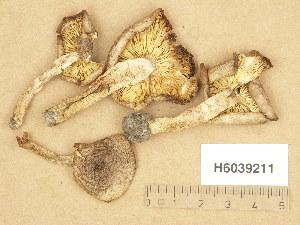 (Tricholoma cingulatum - H6039211)  @11 [ ] Copyright (2013) Diana Weckman Botanical Museum, Finnish Museum of Natural History, University of Helsinki