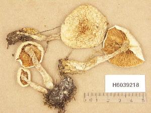 (Hebeloma crustuliniforme - H6039218)  @11 [ ] Copyright (2013) Diana Weckman Botanical Museum, Finnish Museum of Natural History, University of Helsinki