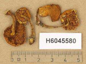 (Pholiota tuberculosa - H6045580)  @11 [ ] Copyright (2014) Diana Weckman Botanical Museum, Finnish Museum of Natural History, University of Helsinki
