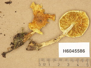 (Pholiota elegans - H6045586)  @11 [ ] Copyright (2014) Diana Weckman Botanical Museum, Finnish Museum of Natural History, University of Helsinki