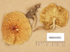 (Pholiota lubrica - H6045593)  @11 [ ] Copyright (2014) Diana Weckman Botanical Museum, Finnish Museum of Natural History, University of Helsinki