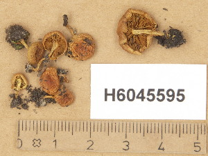 (Pholiota higlandensis - H6045595)  @11 [ ] Copyright (2014) Diana Weckman Botanical Museum, Finnish Museum of Natural History, University of Helsinki