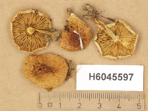 (Pholiota mixta - H6045597)  @11 [ ] Copyright (2014) Diana Weckman Botanical Museum, Finnish Museum of Natural History, University of Helsinki