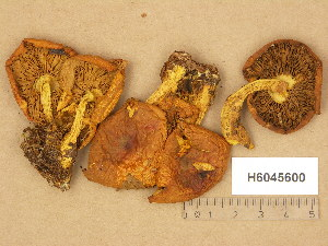 (Pholiota flammula - H6045600)  @11 [ ] Copyright (2014) Diana Weckman Botanical Museum, Finnish Museum of Natural History, University of Helsinki