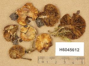 (Pholiota scamba - H6045612)  @11 [ ] Copyright (2014) Diana Weckman Botanical Museum, Finnish Museum of Natural History, University of Helsinki