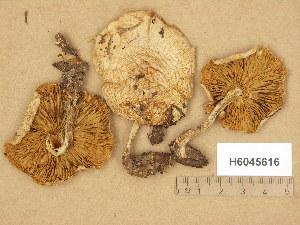 (Pholiota lenta - H6045616)  @11 [ ] Copyright (2014) Diana Weckman Botanical Museum, Finnish Museum of Natural History, University of Helsinki