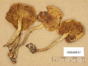 (Pholiota spumosa - H6045617)  @11 [ ] Copyright (2014) Diana Weckman Botanical Museum, Finnish Museum of Natural History, University of Helsinki