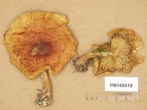 (Pholiota lubrica - H6045618)  @11 [ ] Copyright (2014) Diana Weckman Botanical Museum, Finnish Museum of Natural History, University of Helsinki