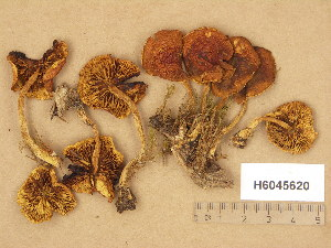 (Pholiota subochracea - H6045620)  @11 [ ] Copyright (2014) Diana Weckman Botanical Museum, Finnish Museum of Natural History, University of Helsinki