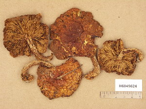 (Pholiota squarrosoides - H6045624)  @11 [ ] Copyright (2014) Diana Weckman Botanical Museum, Finnish Museum of Natural History, University of Helsinki