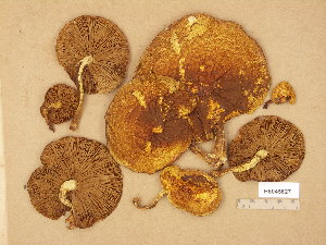 (Pholiota limonella - H6045627)  @11 [ ] Copyright (2014) Diana Weckman Botanical Museum, Finnish Museum of Natural History, University of Helsinki