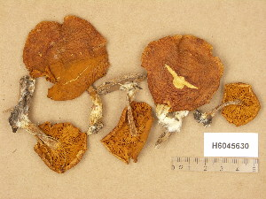 (Gymnopilus sapineus - H6045630)  @11 [ ] Copyright (2014) Diana Weckman Botanical Museum, Finnish Museum of Natural History, University of Helsinki