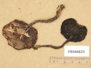 (Gomphidius - H6045631)  @11 [ ] Copyright (2014) Diana Weckman Botanical Museum, Finnish Museum of Natural History, University of Helsinki