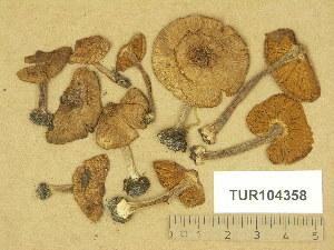 (Inocybe margaritispora - TUR104358)  @11 [ ] Copyright (2014) Diana Weckman Botanical Museum, Finnish Museum of Natural History, University of Helsinki
