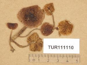 (Hebeloma kuehneri - TUR111110)  @11 [ ] Copyright (2014) Diana Weckman Botanical Museum, Finnish Museum of Natural History, University of Helsinki