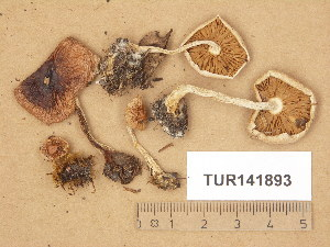 (Hebeloma lundqvistii - TUR141893)  @11 [ ] Copyright (2014) Diana Weckman Botanical Museum, Finnish Museum of Natural History, University of Helsinki