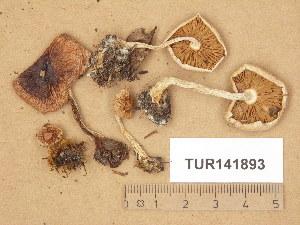 (Hebeloma lundqvistii - TUR141893)  @11 [ ] Copyright (2014) Diana Weckman Botanical Museum, Finnish Museum of Natural History, University of Helsinki
