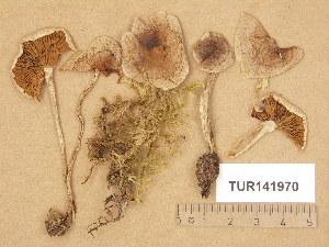 (Hebeloma incarnatulum - TUR141970)  @11 [ ] Copyright (2014) Diana Weckman Botanical Museum, Finnish Museum of Natural History, University of Helsinki