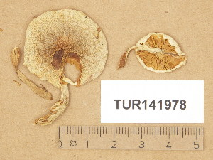 (Hebeloma sordidum - TUR141978)  @11 [ ] Copyright (2014) Diana Weckman Botanical Museum, Finnish Museum of Natural History, University of Helsinki