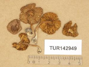 (Inocybe tarda - TUR142949)  @11 [ ] Copyright (2014) Diana Weckman Botanical Museum, Finnish Museum of Natural History, University of Helsinki