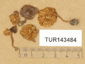 (Inocybe decemgibbosa - TUR143484)  @11 [ ] Copyright (2014) Diana Weckman Botanical Museum, Finnish Museum of Natural History, University of Helsinki