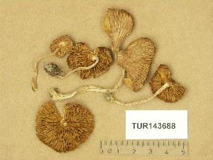 (Inocybe fuscidula - TUR143688)  @11 [ ] Copyright (2014) Diana Weckman Botanical Museum, Finnish Museum of Natural History, University of Helsinki