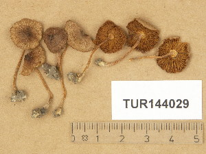 (Inocybe glabripes - TUR144029)  @11 [ ] Copyright (2014) Diana Weckman Botanical Museum, Finnish Museum of Natural History, University of Helsinki