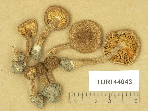 (Inocybe hystrix - TUR144043)  @11 [ ] Copyright (2014) Diana Weckman Botanical Museum, Finnish Museum of Natural History, University of Helsinki