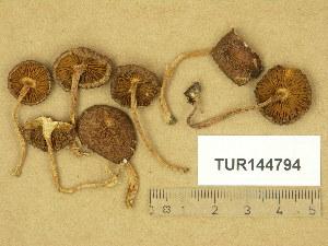 (Inocybe lindrothii - TUR144794)  @11 [ ] Copyright (2014) Diana Weckman Botanical Museum, Finnish Museum of Natural History, University of Helsinki
