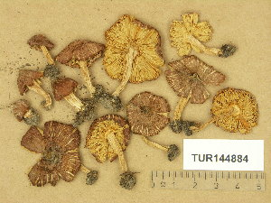 (Inocybe maculata - TUR144884)  @11 [ ] Copyright (2014) Diana Weckman Botanical Museum, Finnish Museum of Natural History, University of Helsinki
