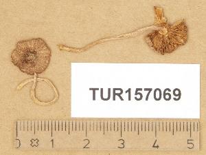 (Inocybe cincinnatula - TUR157069)  @11 [ ] Copyright (2014) Diana Weckman Botanical Museum, Finnish Museum of Natural History, University of Helsinki