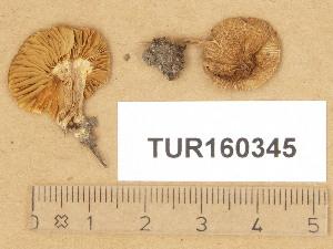 (Inocybe langei - TUR160345)  @11 [ ] Copyright (2014) Diana Weckman Botanical Museum, Finnish Museum of Natural History, University of Helsinki
