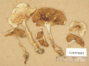 (Hebeloma fragilipes - TUR170251)  @11 [ ] Copyright (2014) Diana Weckman Botanical Museum, Finnish Museum of Natural History, University of Helsinki