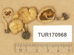 (Inocybe lilacina - TUR170968)  @11 [ ] Copyright (2014) Diana Weckman Botanical Museum, Finnish Museum of Natural History, University of Helsinki