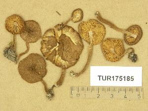 (Inocybe lanuginosa - TUR175185)  @11 [ ] Copyright (2014) Diana Weckman Botanical Museum, Finnish Museum of Natural History, University of Helsinki