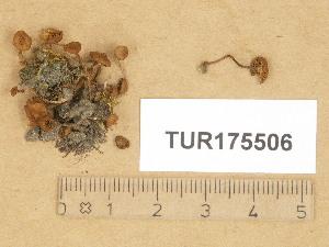 (Inocybe minutissima - TUR175506)  @11 [ ] Copyright (2014) Diana Weckman Botanical Museum, Finnish Museum of Natural History, University of Helsinki