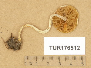 (Inocybe geophylla var. geophylla - TUR176512)  @11 [ ] Copyright (2014) Diana Weckman Botanical Museum, Finnish Museum of Natural History, University of Helsinki