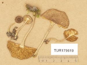 (Inocybe flocculosa - TUR179619)  @11 [ ] Copyright (2014) Diana Weckman Botanical Museum, Finnish Museum of Natural History, University of Helsinki