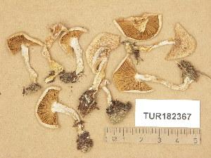 (Hebeloma naviculosporum - TUR182367)  @11 [ ] Copyright (2014) Diana Weckman Botanical Museum, Finnish Museum of Natural History, University of Helsinki