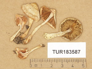 (Inocybe pudica - TUR183587)  @11 [ ] Copyright (2014) Diana Weckman Botanical Museum, Finnish Museum of Natural History, University of Helsinki