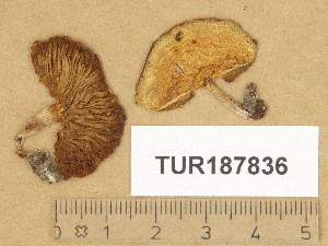 (Stropharia ochrocyanea - TUR187836)  @11 [ ] Copyright (2014) Diana Weckman Botanical Museum, Finnish Museum of Natural History, University of Helsinki