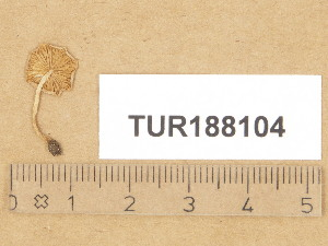 (Hebeloma pusillum - TUR188104)  @11 [ ] Copyright (2014) Diana Weckman Botanical Museum, Finnish Museum of Natural History, University of Helsinki