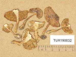 (Inocybe oblectabilis - TUR190032)  @11 [ ] Copyright (2014) Diana Weckman Botanical Museum, Finnish Museum of Natural History, University of Helsinki