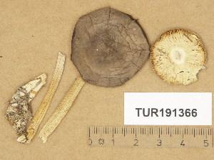 (Melanoleuca - TUR191366)  @11 [ ] Copyright (2014) Diana Weckman Botanical Museum, Finnish Museum of Natural History, University of Helsinki
