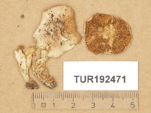 (Hebeloma vejlense - TUR192471)  @11 [ ] Copyright (2014) Diana Weckman Botanical Museum, Finnish Museum of Natural History, University of Helsinki