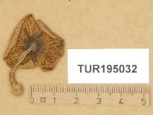 (Inocybe caprimulgi - TUR195032)  @11 [ ] Copyright (2014) Diana Weckman Botanical Museum, Finnish Museum of Natural History, University of Helsinki