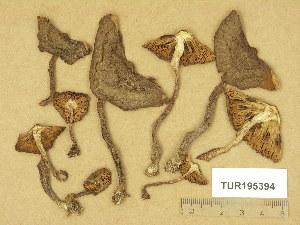 (Inocybe subcarpta - TUR195394)  @11 [ ] Copyright (2014) Diana Weckman Botanical Museum, Finnish Museum of Natural History, University of Helsinki